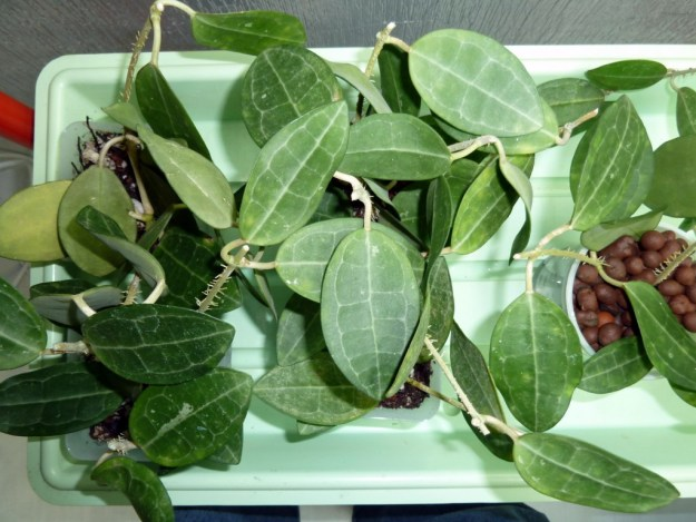 Hoya elliptica Cuttings From January 11th, 2012
