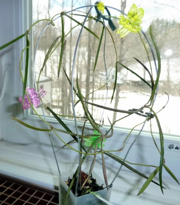 Hoya acicularis