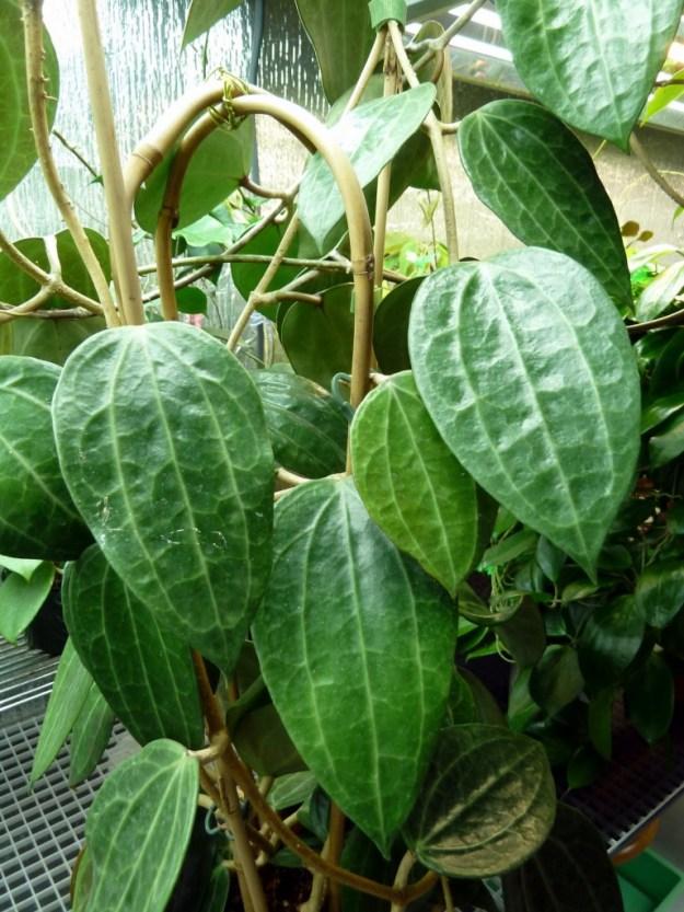 Hoya tjadasmalangensis