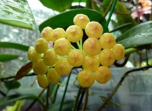 Hoya hellwigiana Buds From January 27, 2013