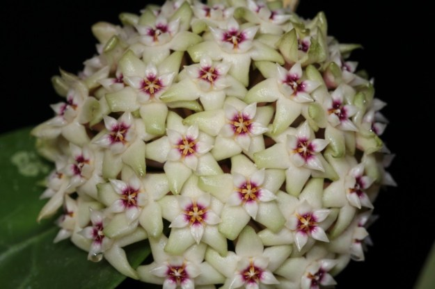 Hoya parasitica Fully Open Peduncle with Flowers - March 2013