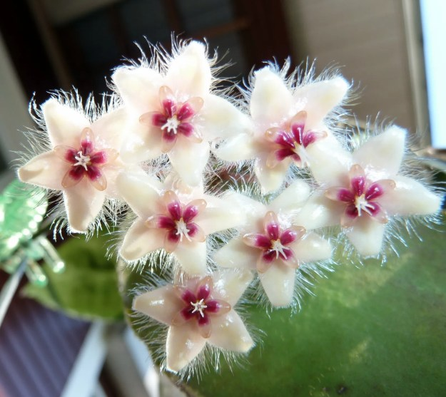 Hoya caudata Flowers - May 2013