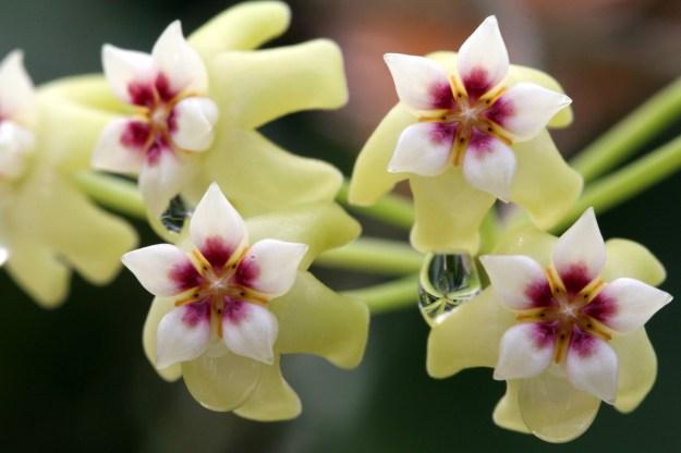 Hoya dolichosparte Blooms - June 2013