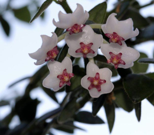 Hoya chinghungensis Blooms June 2013