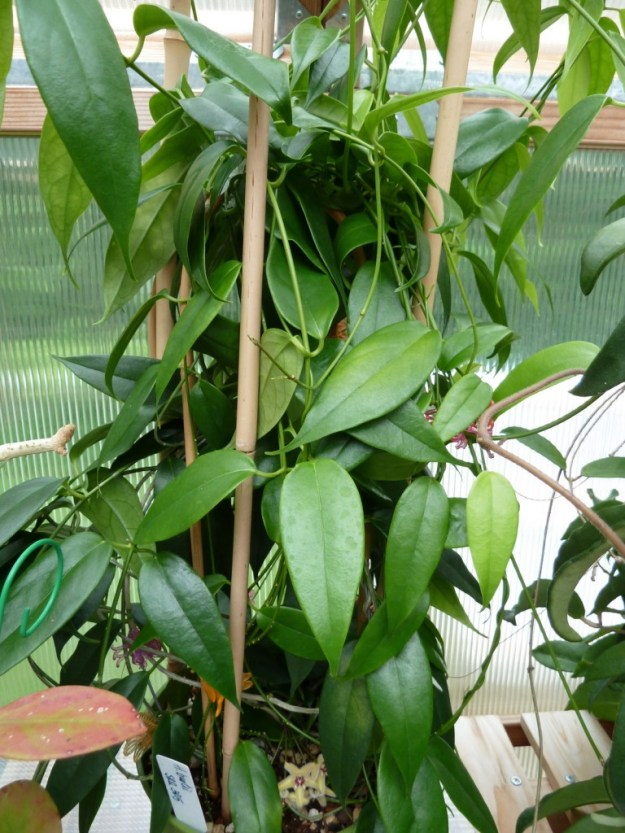 Hoya buotii Foliage Plant Extraordinaire!