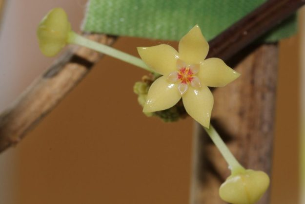 Hoya polystachya Flower - Six Years in the Making!