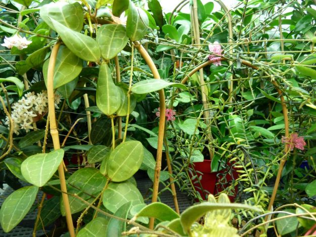 Many Hoyas in a Tangle - September 2013