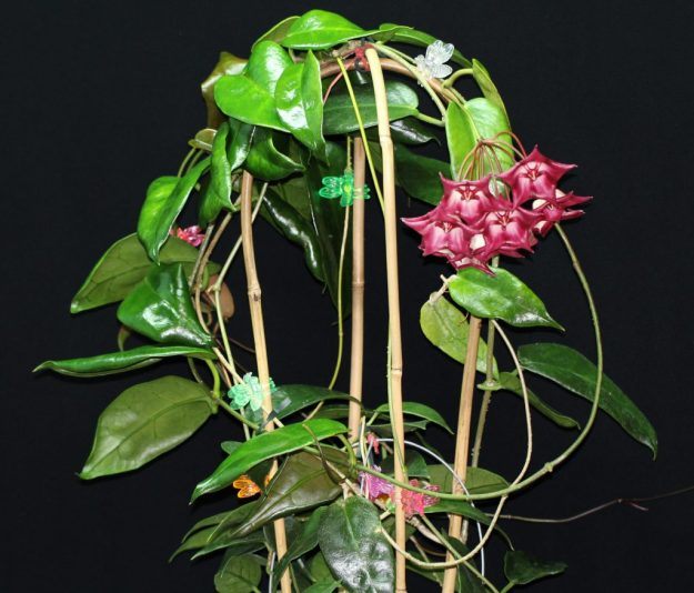 Hoya cv. kamuki Showing the Entire Plant - January 2014