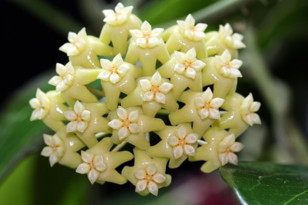 Hoya pottsii 'Coopers Creek' IML 0353 - Flowers are Nothing to Sneeze At!
