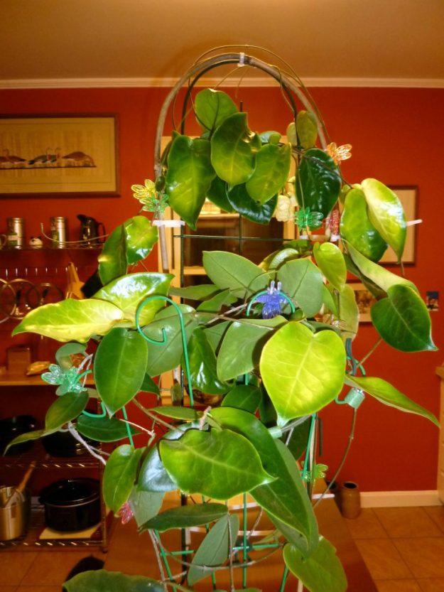 Hoya inflata