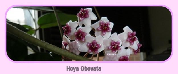 Hoya obovata in a mat