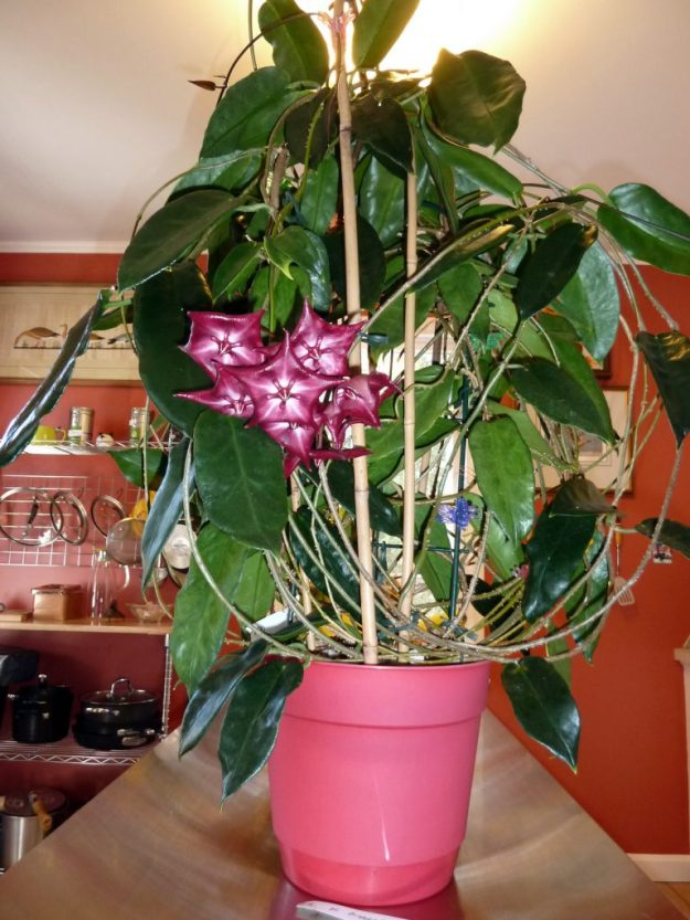 H. archboldiana x onychoides Plant 041514