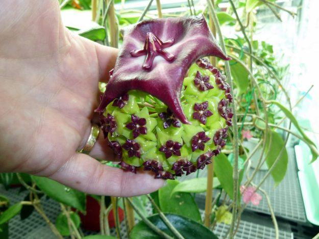 Showing Off - Hoya archboldiana x onychoides inserted into cinnamomifolia.