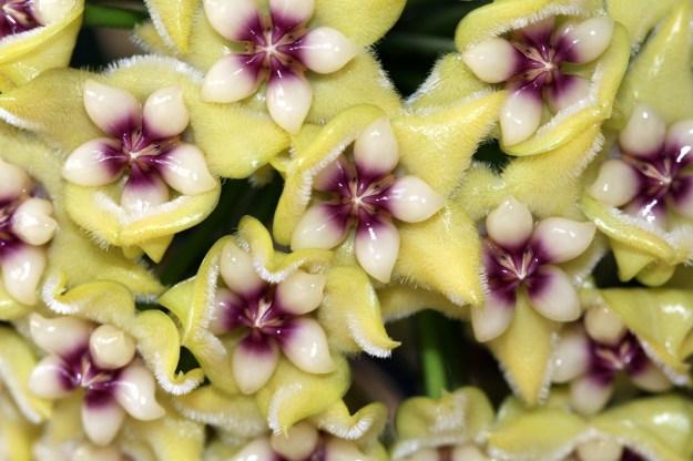 Hoya coriacea 050114b