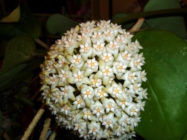 Hoya latifolia May 2014