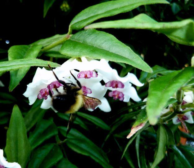 Bumblebee on Hoya bella - July 2014