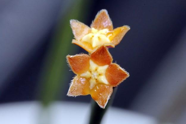 Hoya spartioides 080114