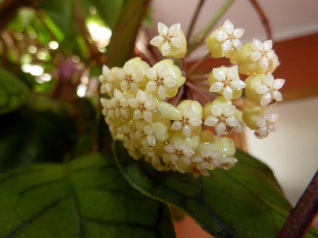 Hoya meredithii 080114