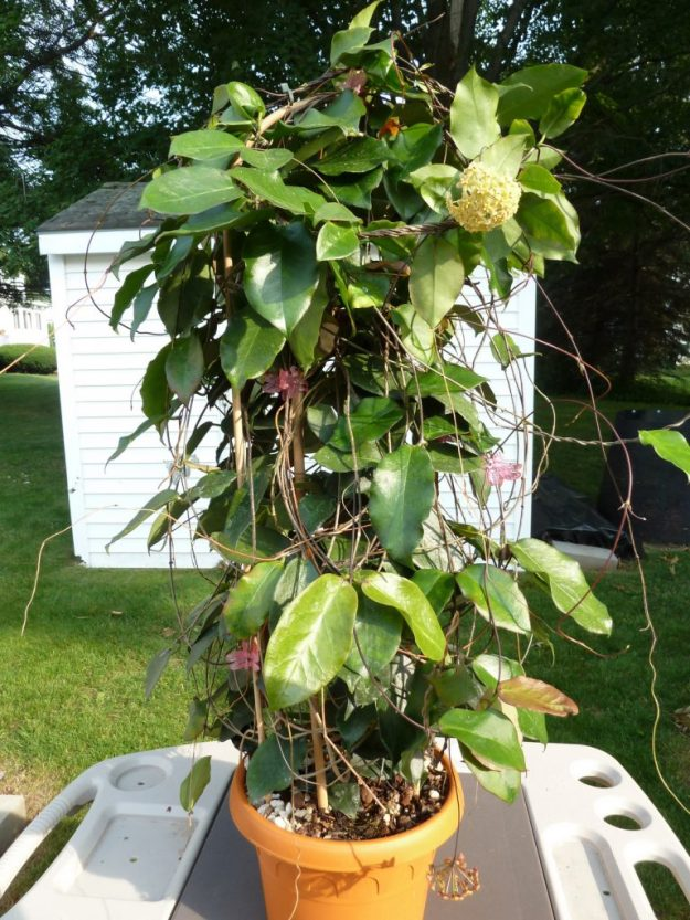 Hoya ischnopus Showing Entire Plant - Summer 2014