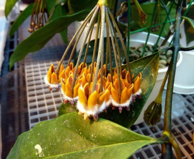 Hoya praetorii in October - Orange for the Season