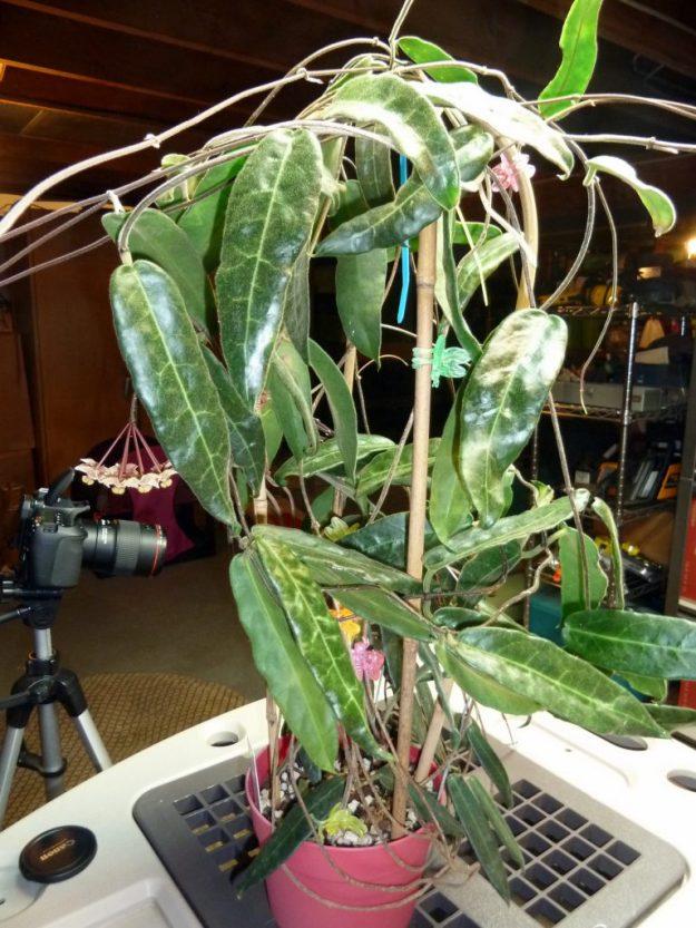 Hoya hypolasia 2