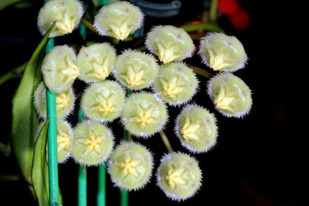 Hoya mirabilis 010615d
