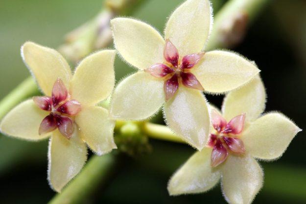 Hoya kasterbergii 012015c