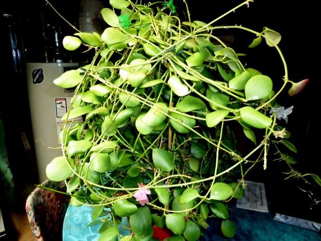 Hoya kasterbergii 012015f