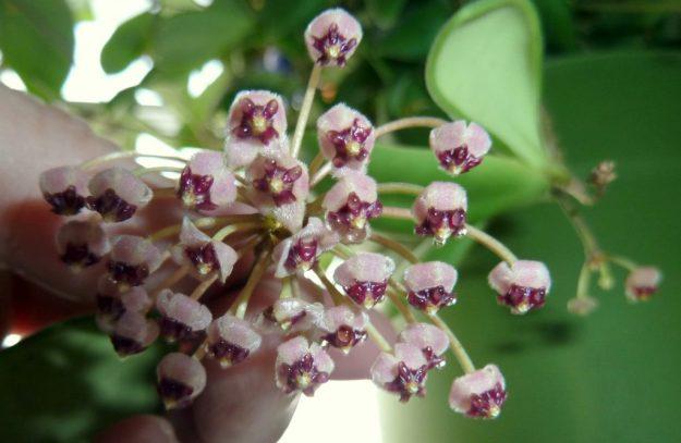 Hoya andalensis 040415