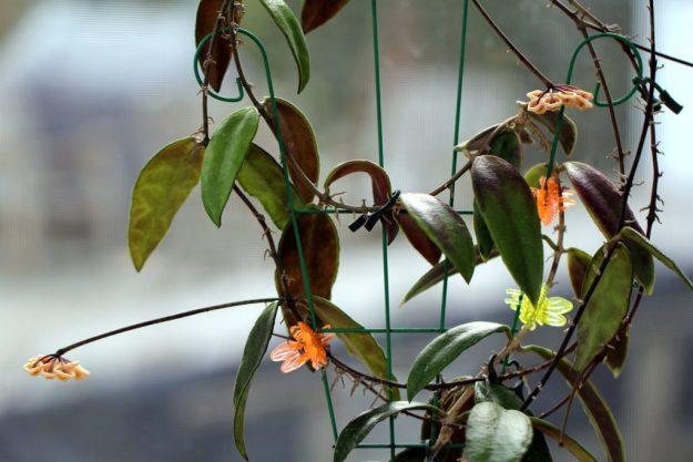 Hoya kloppenburgii 043015