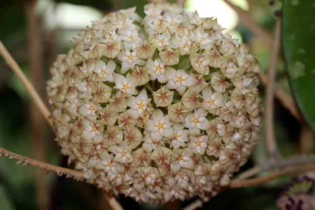 Hoya latifolia 061115