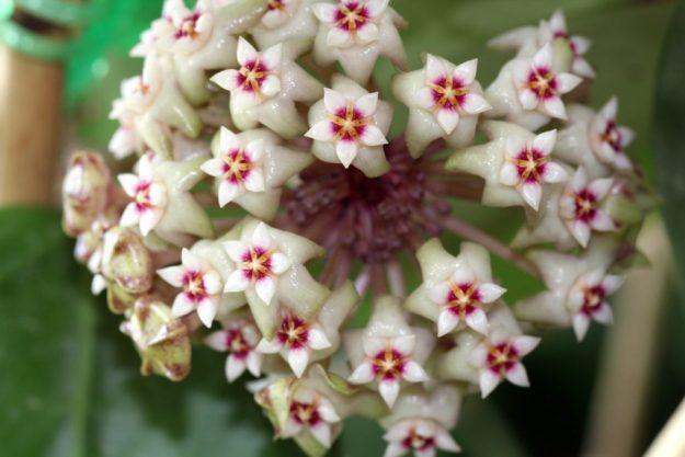 Hoya parasitica 060915a
