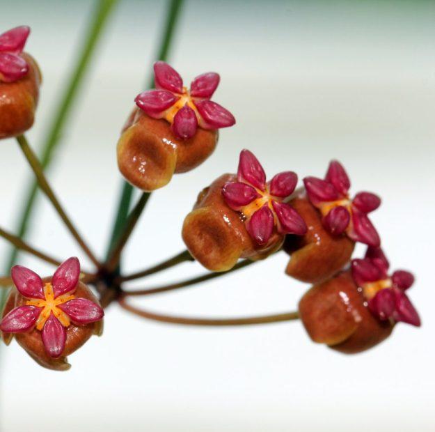 Hoya soligamiana 060415b