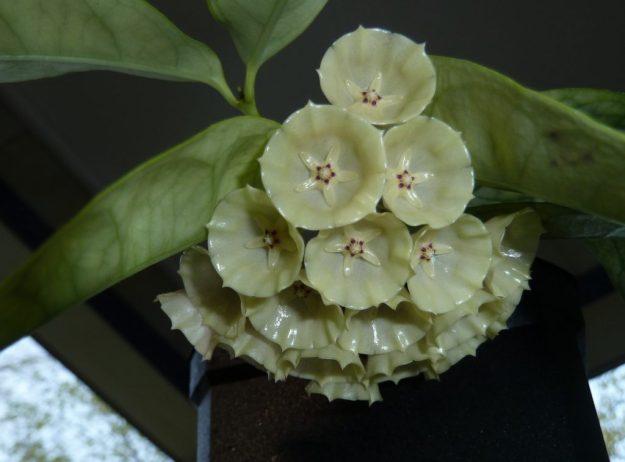 Hoya campanulata 052715