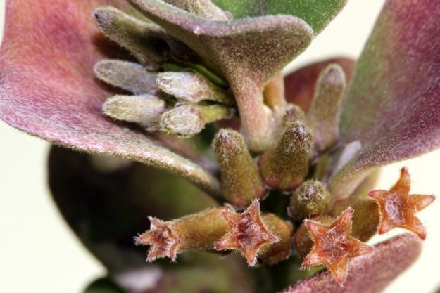 Hoya manipurensis 071415