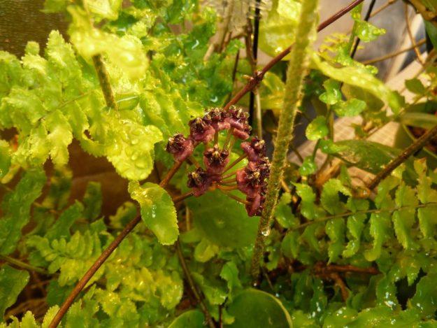 Hoya lucardenasiana 062015