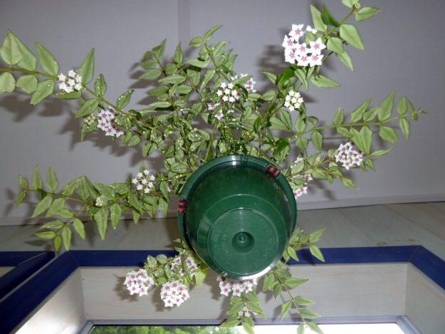 Hoya bella 061815