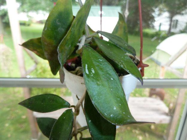 Hoya mirabilis Clone A 073015a