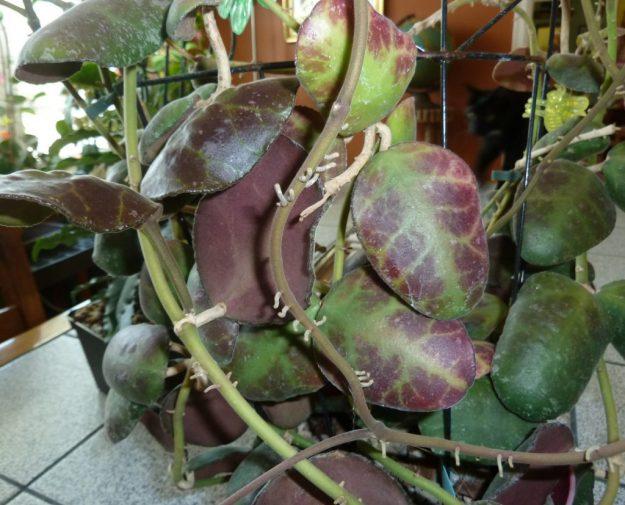 The Rounded Leaves of Hoya waymaniae (IML 1167)