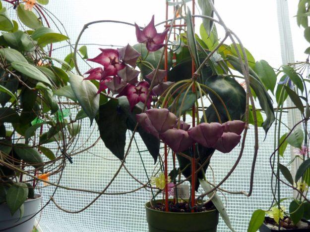 Hoya macgillivrayi 083015