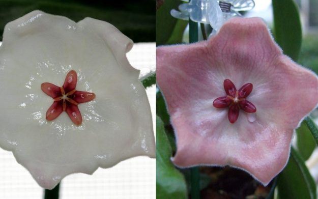 Hoya patella 'White' on the Left and Hoya patella 'Pink' on the Right.