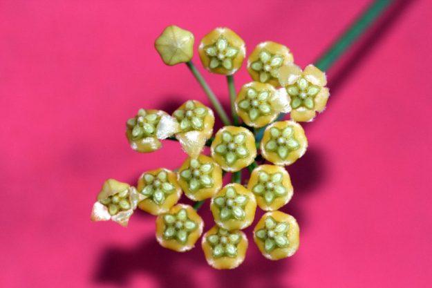 Hoya benitotanii 092815a