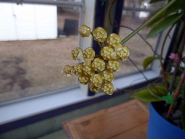 Hoya gigantanganensis 093015b