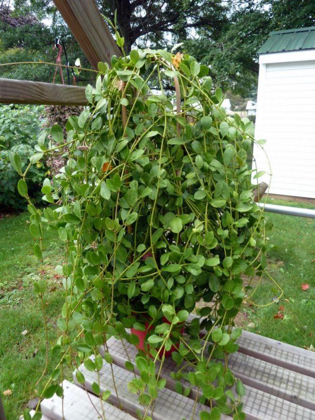 Hoya wightii ssp palniensis 091915