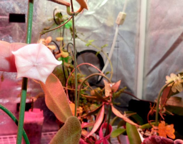 Hoya patella 'White' 092515