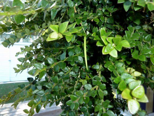 Hoya chinghungensis Seed Pod 101815
