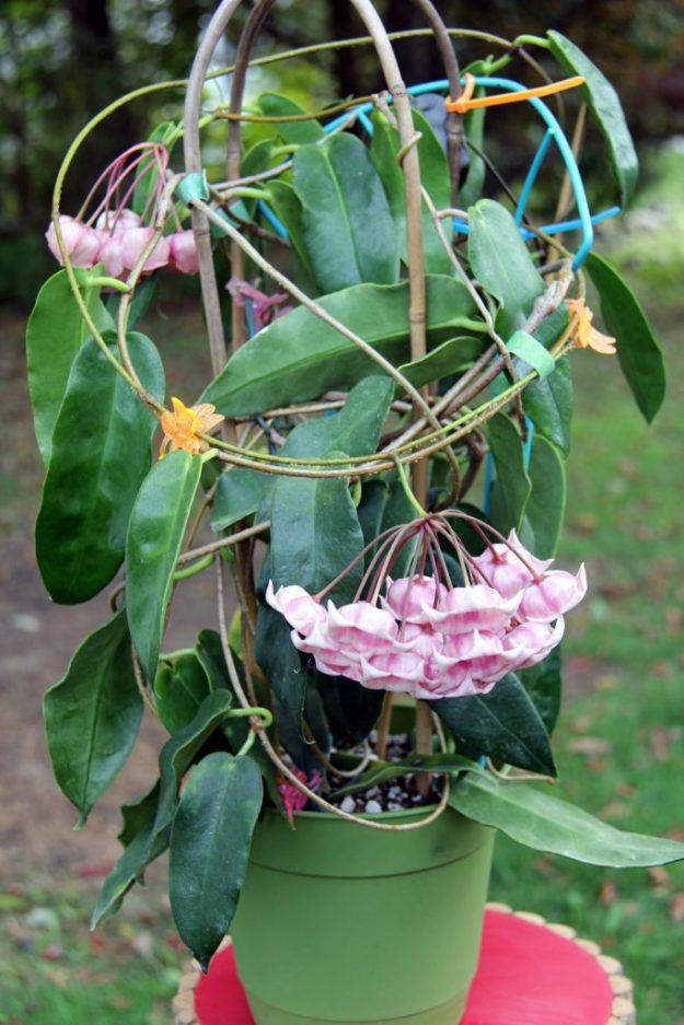 Hoya archboldiana 102415