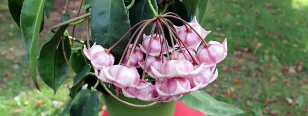 Hoya archboldiana 102415b