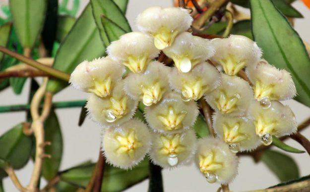 Hoya mirabilis Clone B 011716a