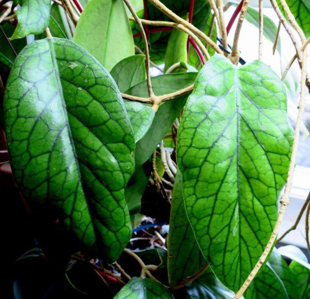 Hoya vitellinoides 012216
